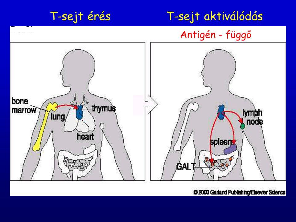 T-sejt érés T-sejt aktiválódás Antigén - függő