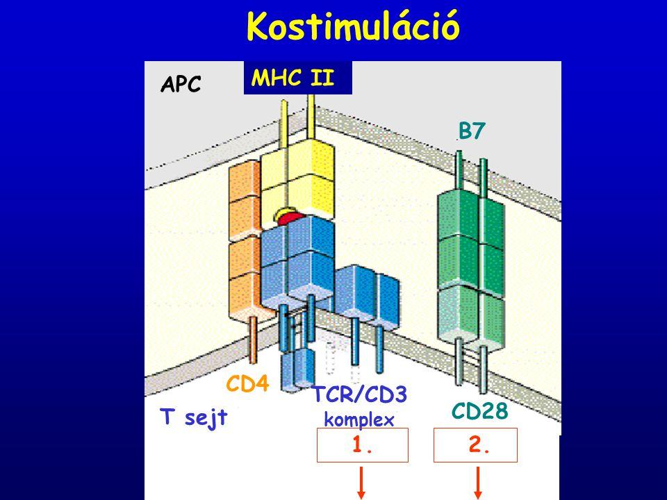 Kostimuláció T sejt TCR/CD3 komplex APC CD4 MHC II B7 CD28 1. 2. 2.