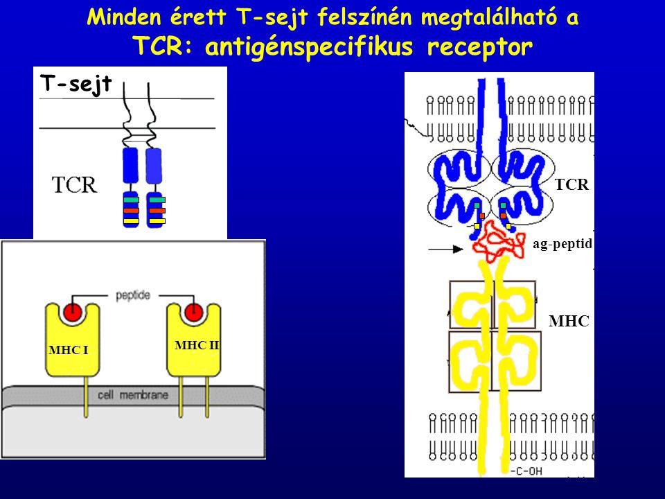 TCR: antigénspecifikus receptor