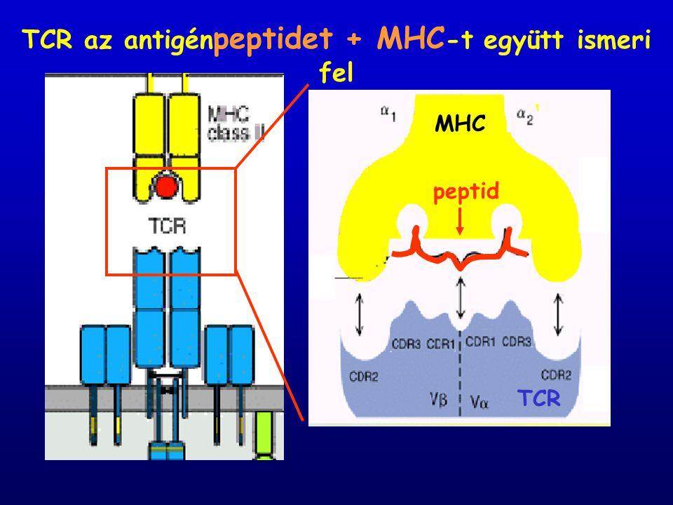 TCR az antigénpeptidet + MHC-t együtt ismeri fel
