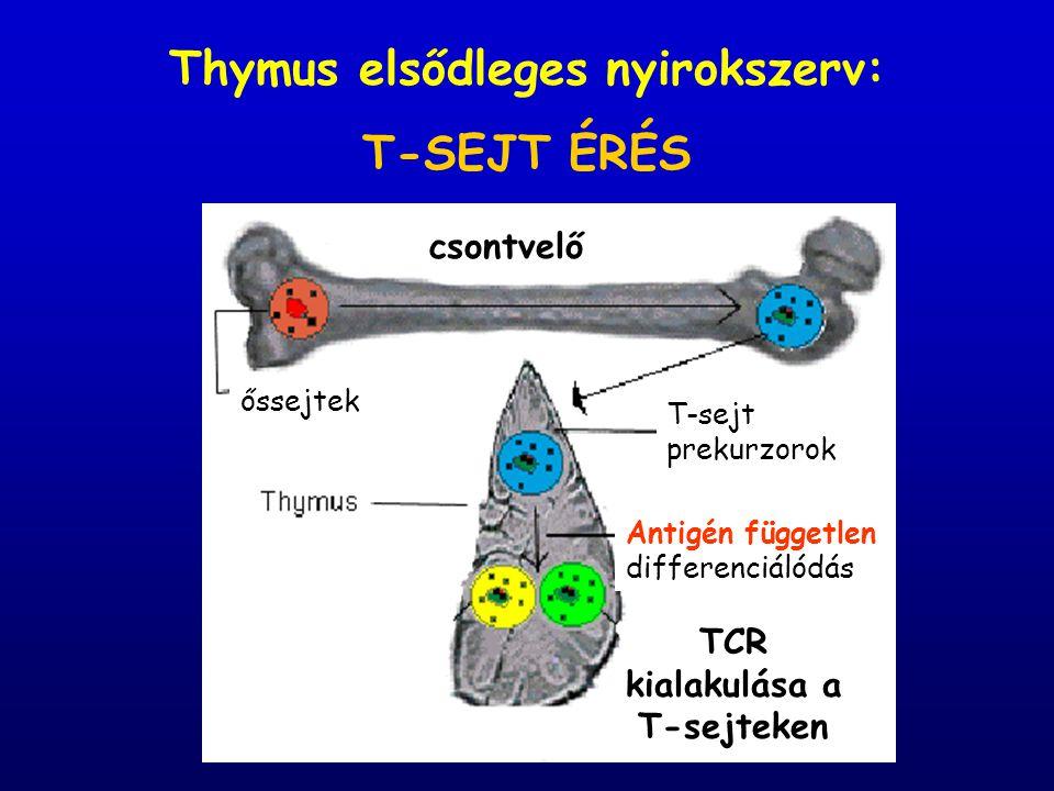 Thymus elsődleges nyirokszerv: TCR kialakulása a T-sejteken