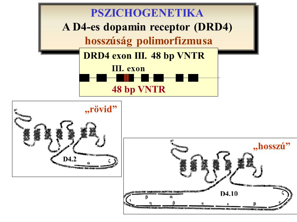 A D4-es dopamin receptor (DRD4) hosszúság polimorfizmusa