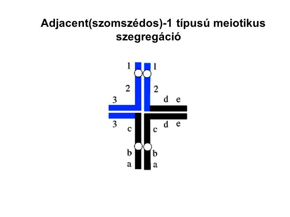Adjacent(szomszédos)-1 típusú meiotikus szegregáció