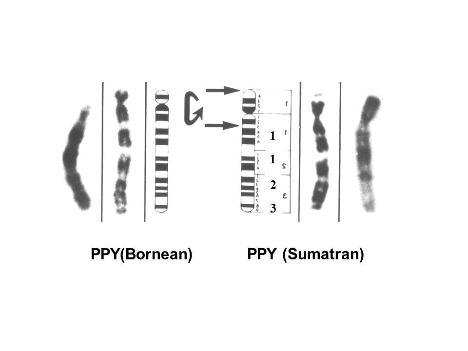 1 1 2 3 PPY(Bornean) PPY (Sumatran)