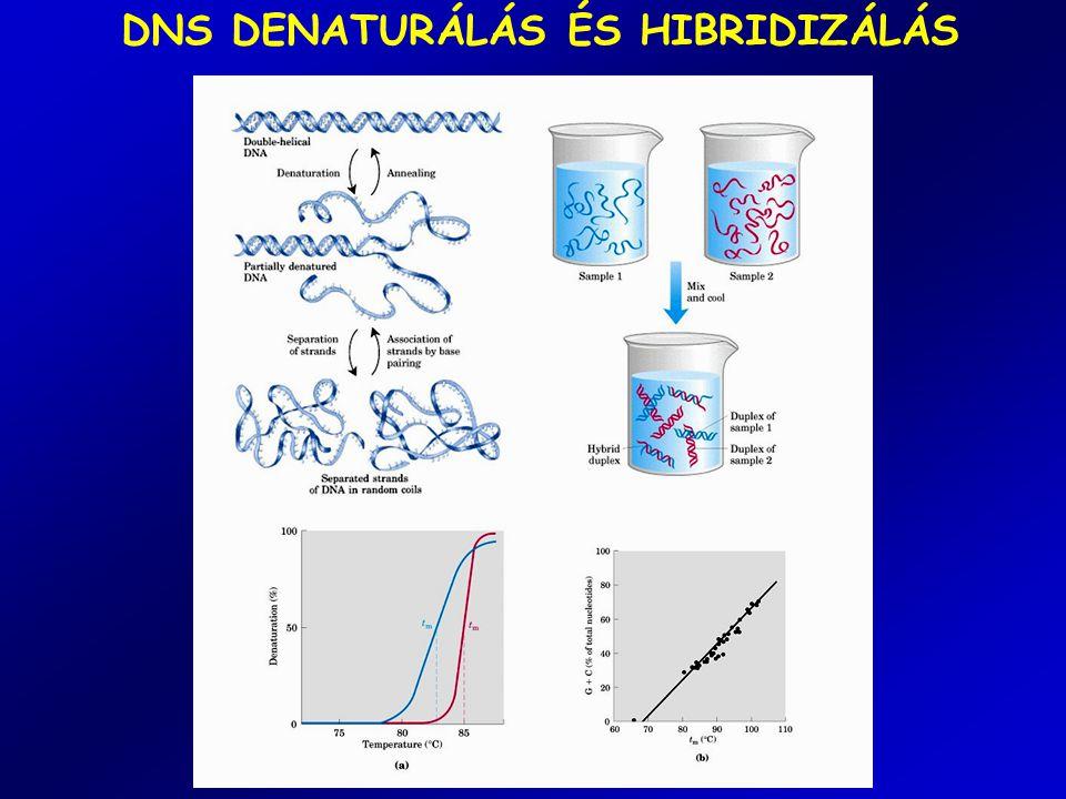 DNS DENATURÁLÁS ÉS HIBRIDIZÁLÁS