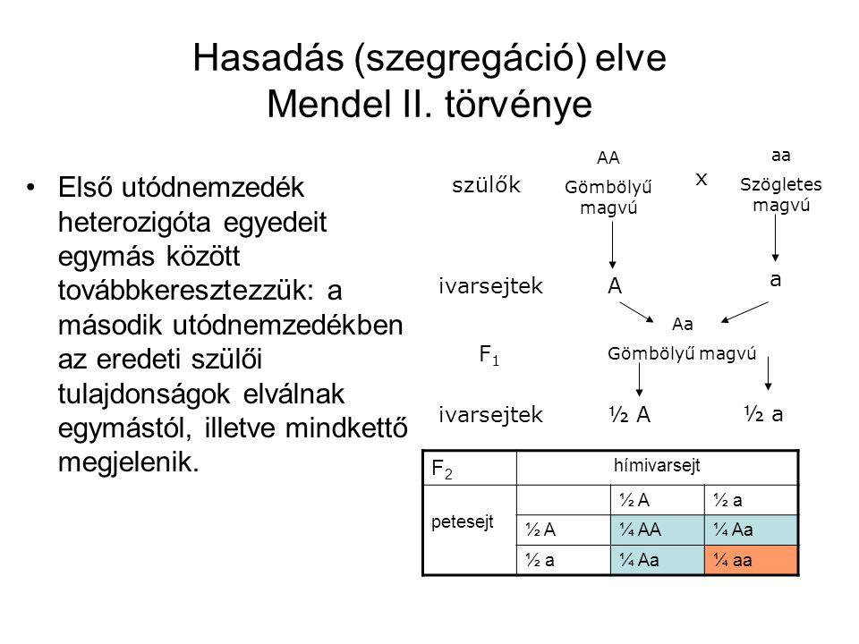 Hasadás (szegregáció) elve Mendel II. törvénye