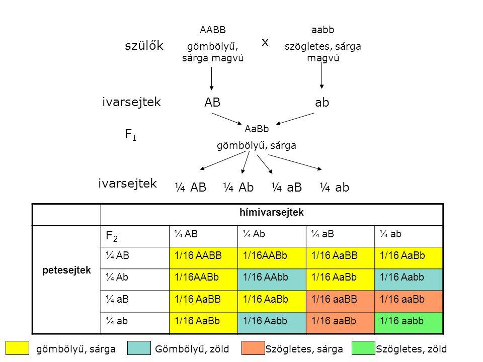 x szülők ivarsejtek AB ab F1 ivarsejtek ¼ AB ¼ Ab ¼ aB ¼ ab F2