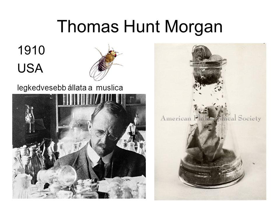 Thomas Hunt Morgan 1910 USA legkedvesebb állata a muslica