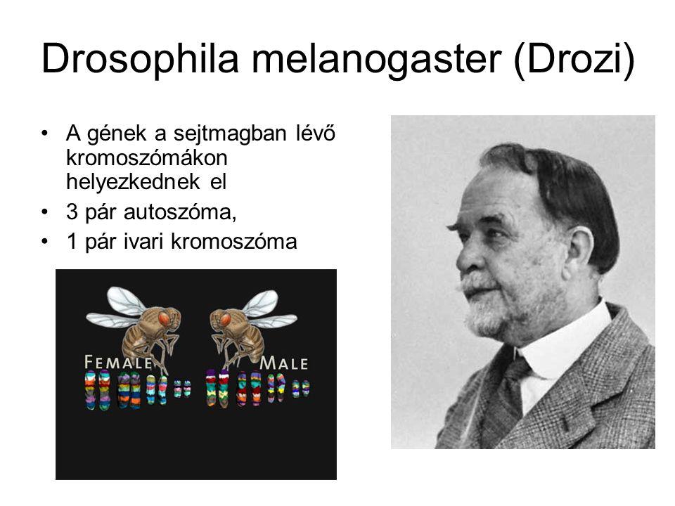Drosophila melanogaster (Drozi)