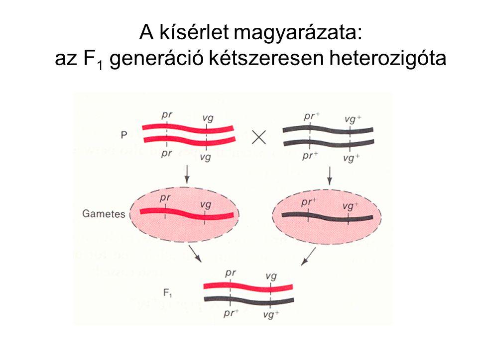A kísérlet magyarázata: az F1 generáció kétszeresen heterozigóta