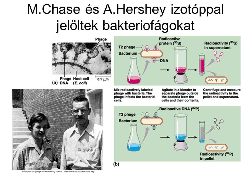 M.Chase és A.Hershey izotóppal jelöltek bakteriofágokat