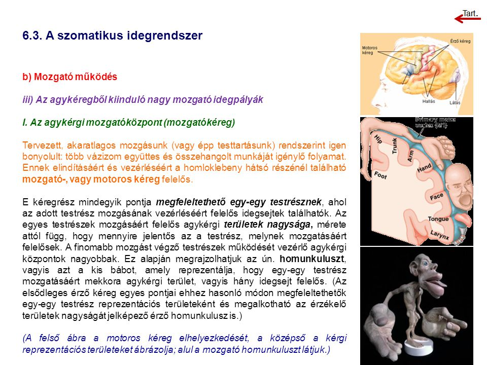 6.3. A szomatikus idegrendszer