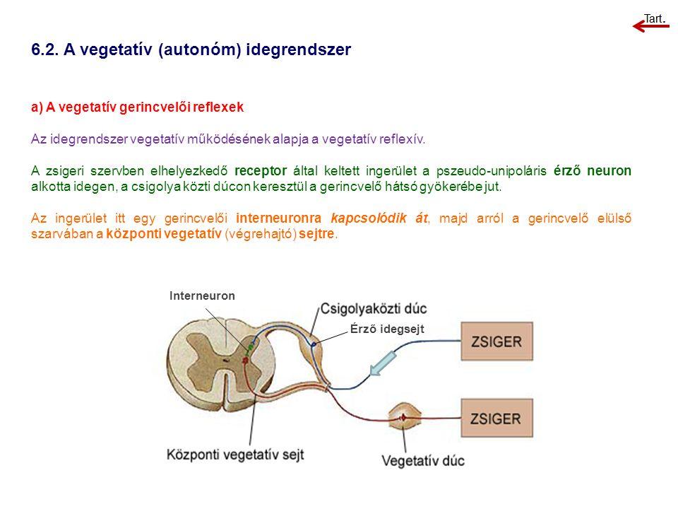 6.2. A vegetatív (autonóm) idegrendszer