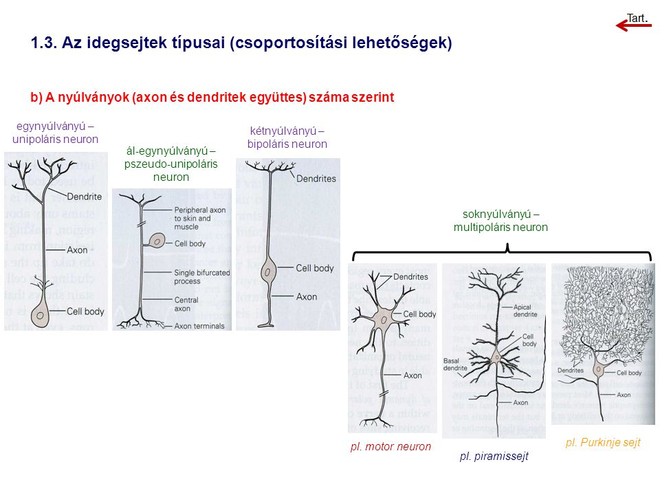 1.3. Az idegsejtek típusai (csoportosítási lehetőségek)