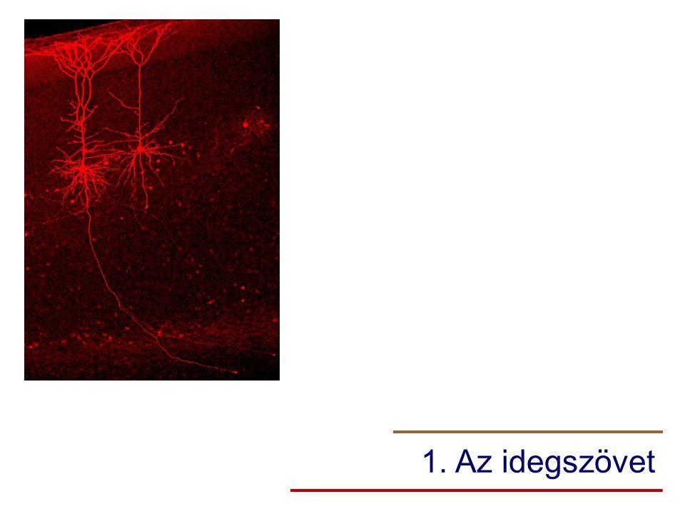 1. Az idegszövet