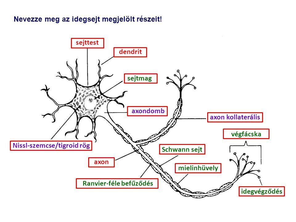 Nissl-szemcse/tigroid rög Ranvier-féle befűződés