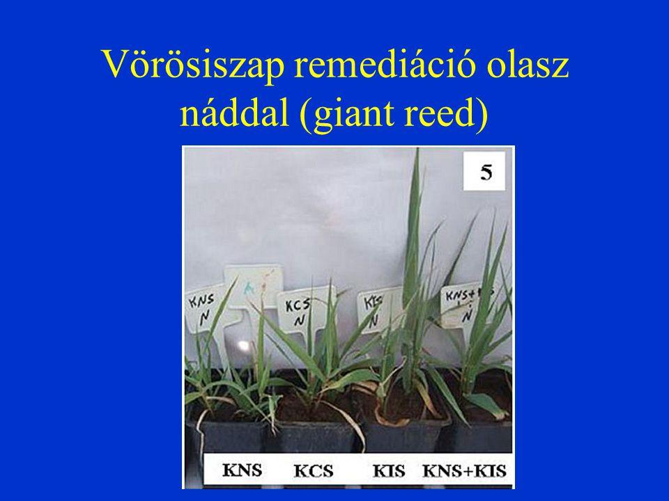 Vörösiszap remediáció olasz náddal (giant reed)