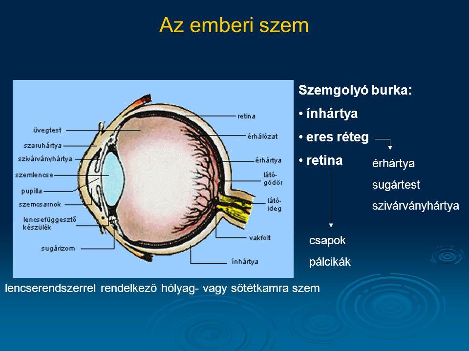 Az emberi szem Szemgolyó burka: ínhártya eres réteg retina érhártya