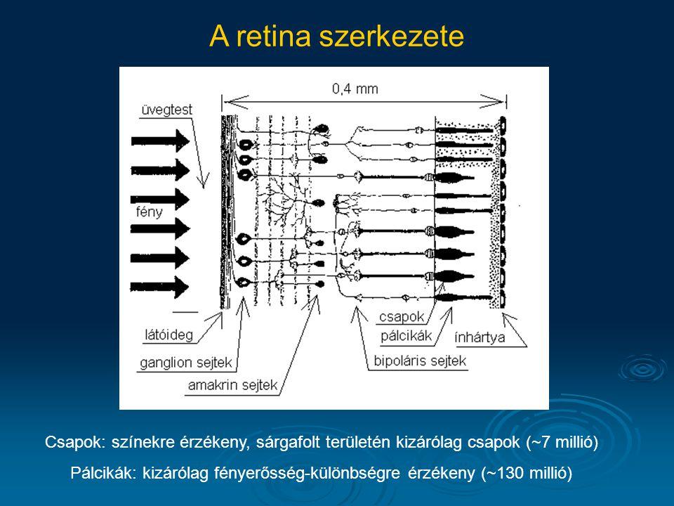 Pálcikák: kizárólag fényerősség-különbségre érzékeny (~130 millió)