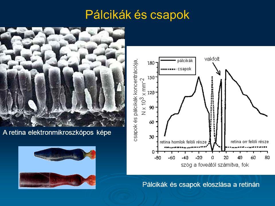 Pálcikák és csapok A retina elektronmikroszkópos képe
