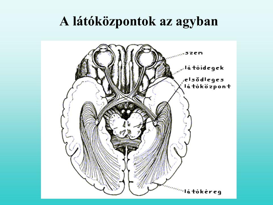 A látóközpontok az agyban