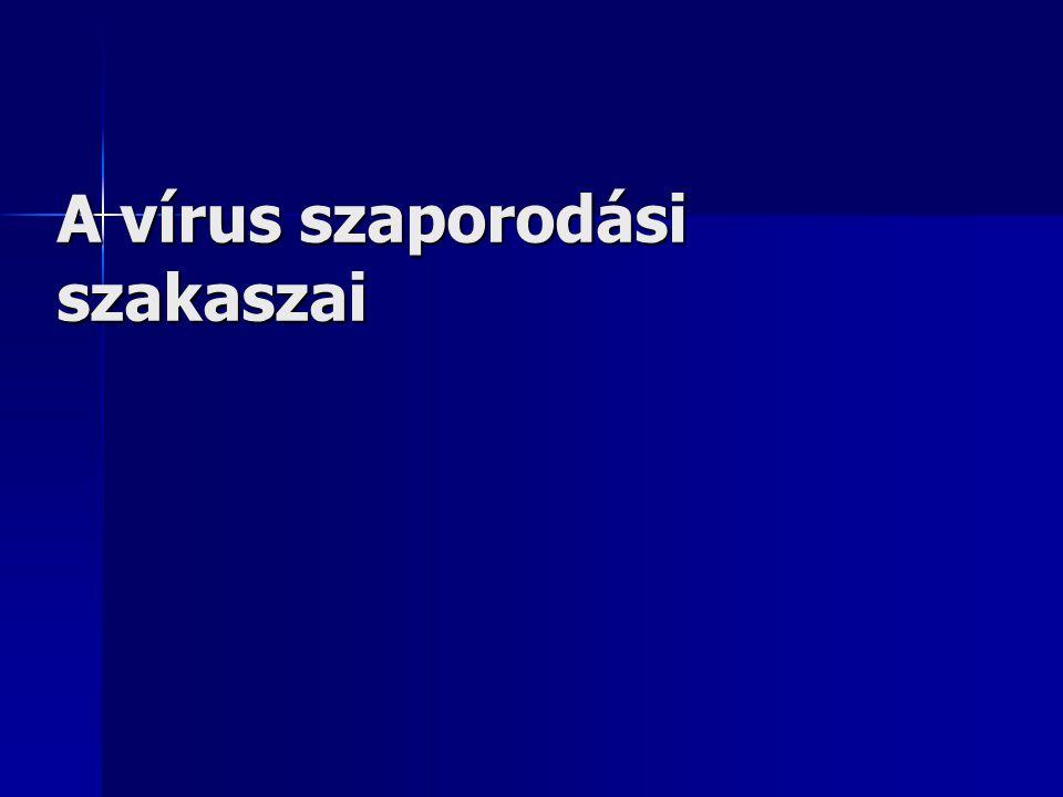 A vírus szaporodási szakaszai