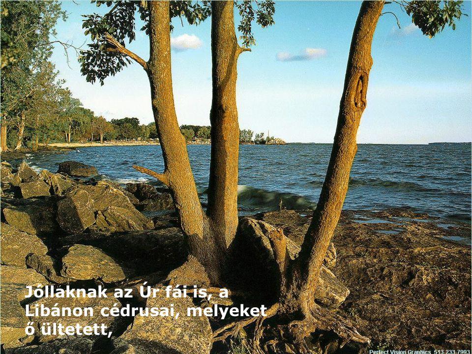 Jóllaknak az Úr fái is, a Libánon cédrusai, melyeket ő ültetett,