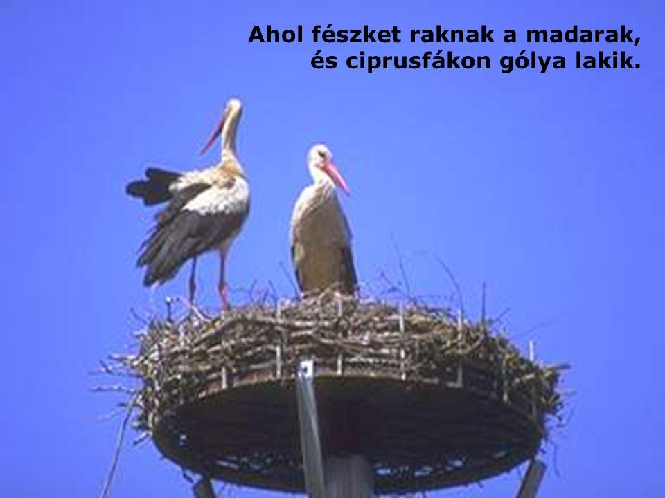 Ahol fészket raknak a madarak, és ciprusfákon gólya lakik.