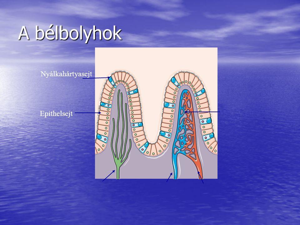 A bélbolyhok Nyálkahártyasejt Epithelsejt