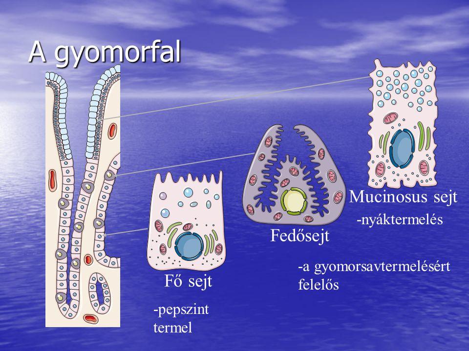 A gyomorfal Mucinosus sejt Fedősejt Fő sejt -nyáktermelés