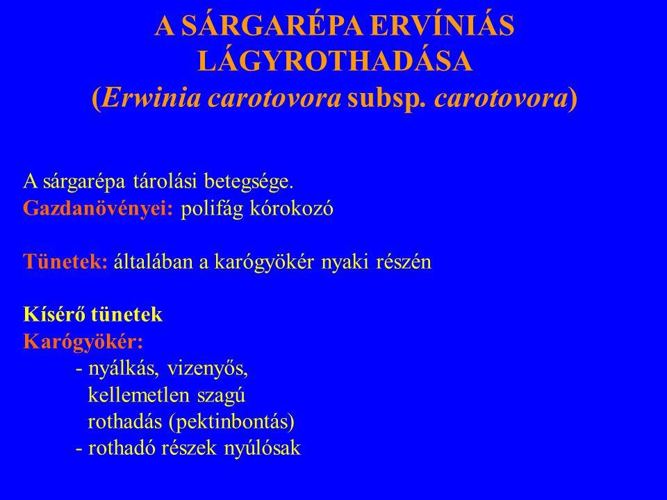 A SÁRGARÉPA ERVÍNIÁS LÁGYROTHADÁSA