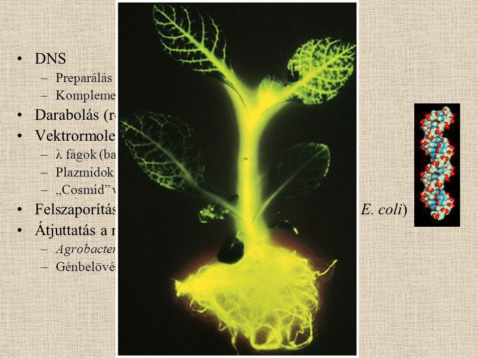 Darabolás (restrikciós endonukleázok) Vektrormolekulák
