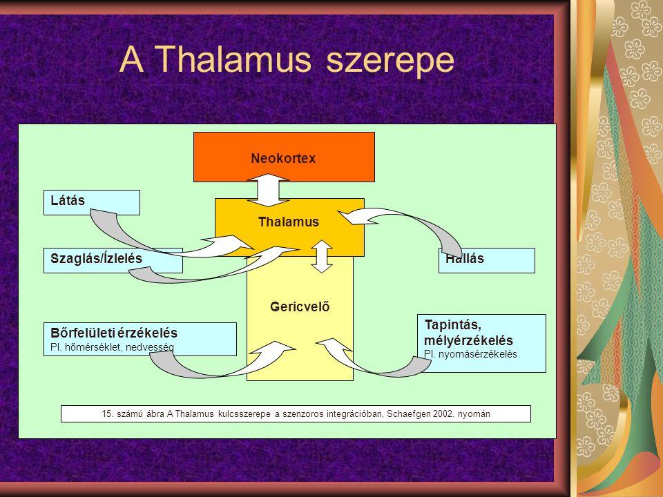 A Thalamus szerepe Neokortex Gericvelő Thalamus Látás