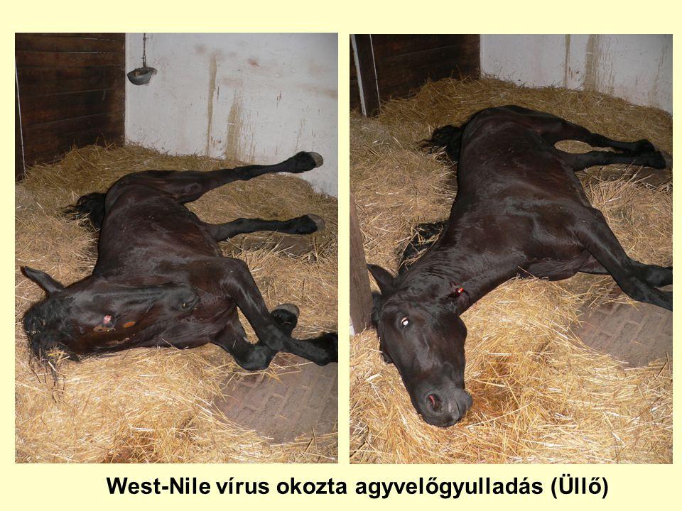 West-Nile vírus okozta agyvelőgyulladás (Üllő)