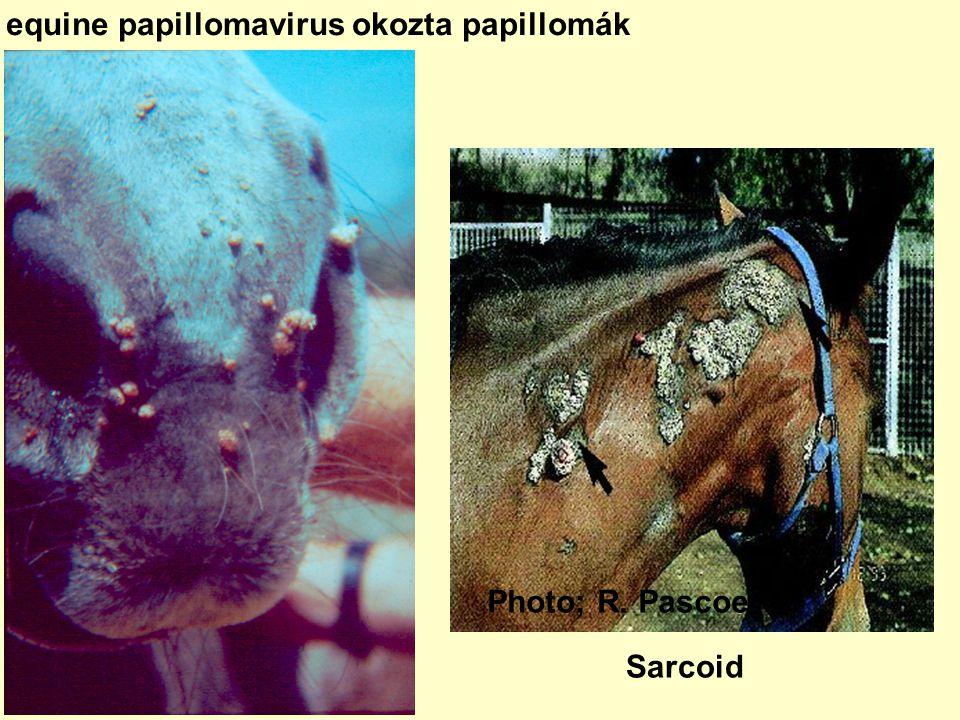 equine papillomavirus okozta papillomák