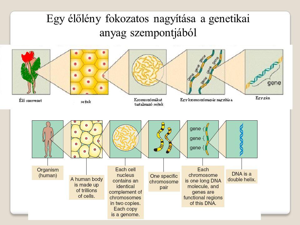 Egy élőlény fokozatos nagyítása a genetikai anyag szempontjából