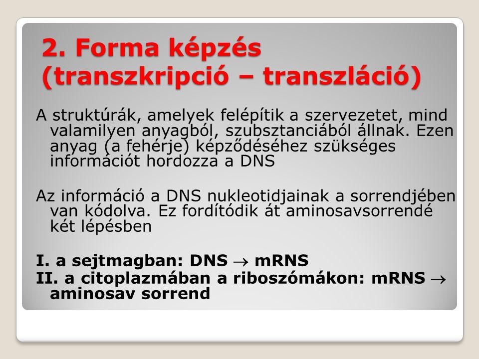 2. Forma képzés (transzkripció – transzláció)