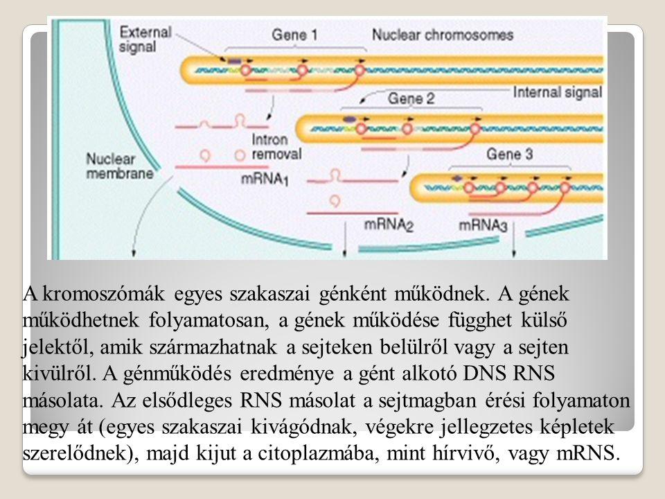 A kromoszómák egyes szakaszai génként működnek