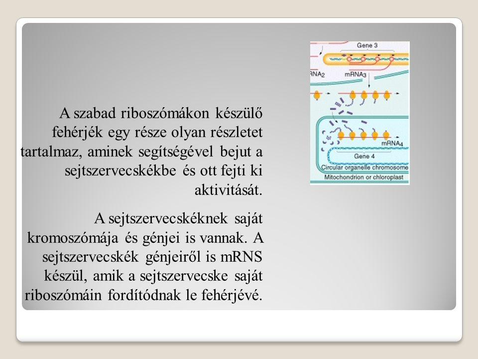 A szabad riboszómákon készülő fehérjék egy része olyan részletet tartalmaz, aminek segítségével bejut a sejtszervecskékbe és ott fejti ki aktivitását.