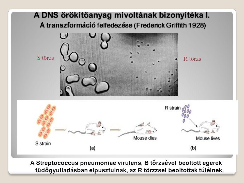 A DNS örökítőanyag mivoltának bizonyítéka I