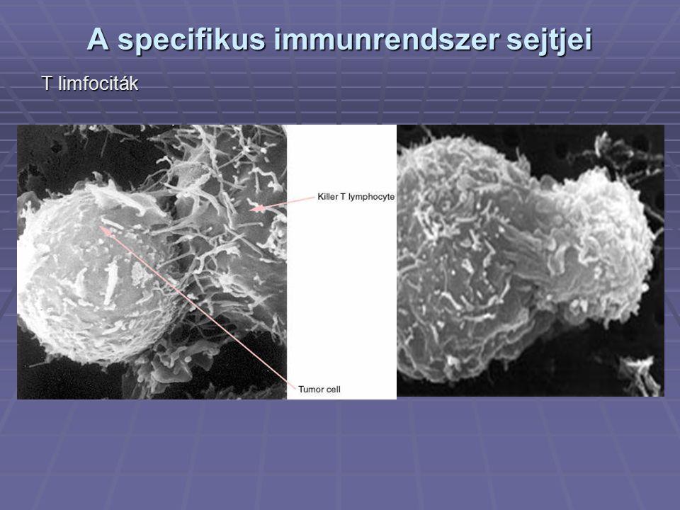 A specifikus immunrendszer sejtjei