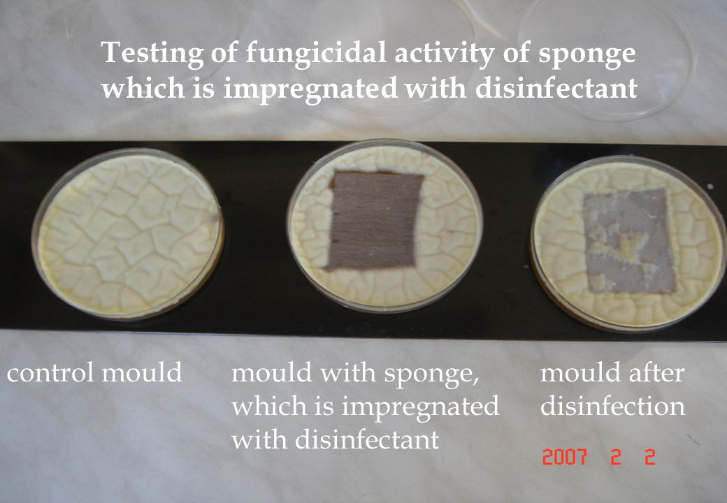 Testing of fungicidal activity of sponge which is impregnated with disinfectant