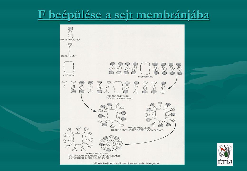 F beépülése a sejt membránjába