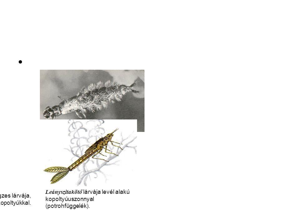 Hydropsyche sp. tegzes lárvája, ágas-bogas tracheakopoltyúkkal.