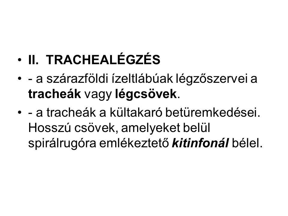 II. TRACHEALÉGZÉS - a szárazföldi ízeltlábúak légzőszervei a tracheák vagy légcsövek.