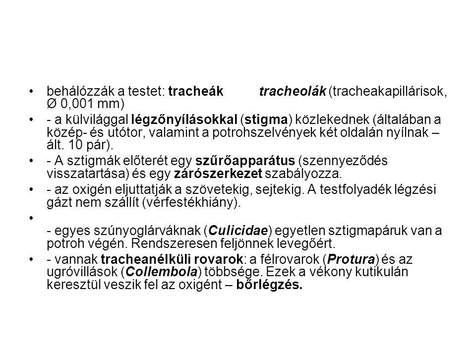 behálózzák a testet: tracheák tracheolák (tracheakapillárisok, Ø 0,001 mm)