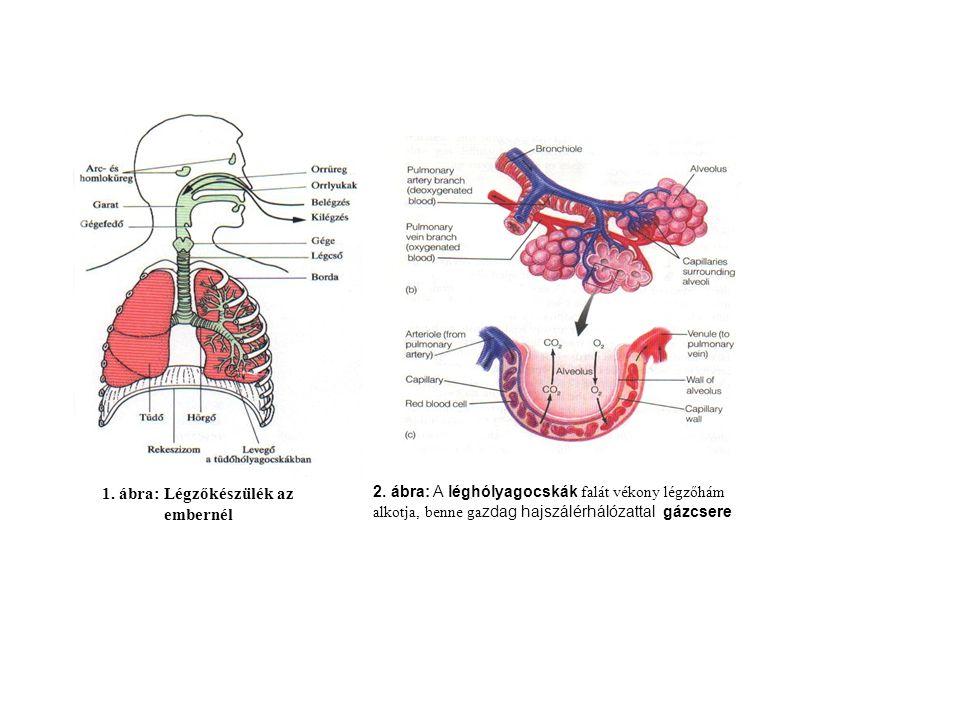 1. ábra: Légzőkészülék az embernél