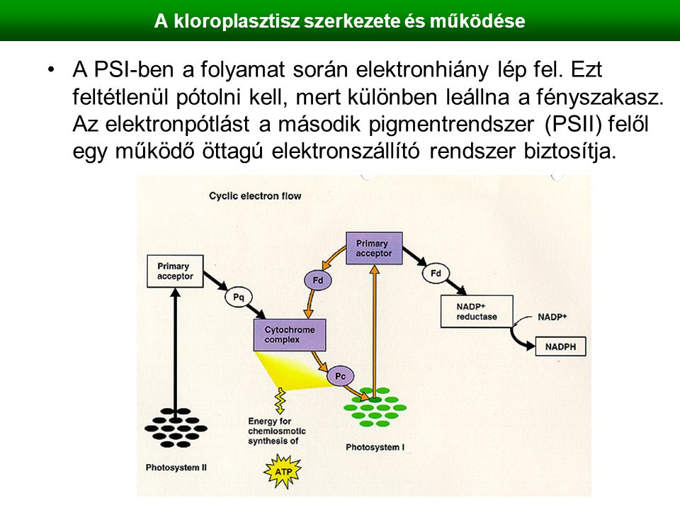 A kloroplasztisz szerkezete és működése