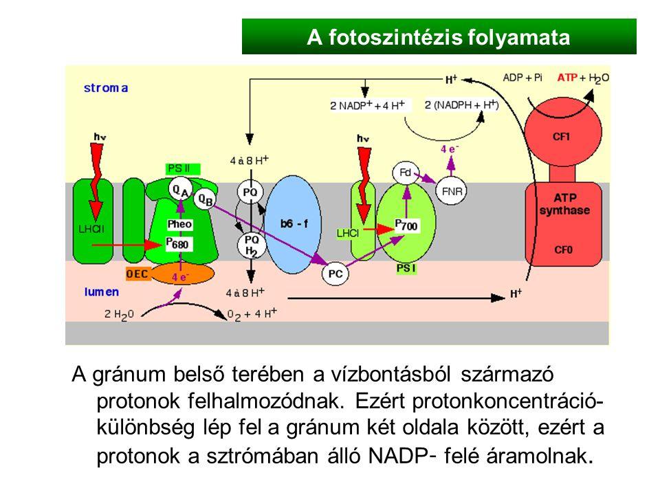 A fotoszintézis folyamata