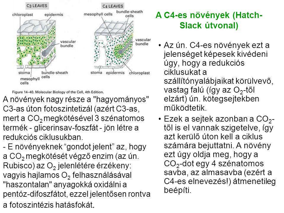 A C4-es növények (Hatch-Slack útvonal)